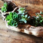 succulents-in-driftwood
